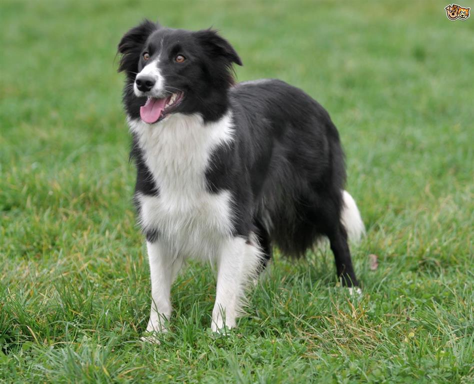 Çoban Köpeği Border Collie